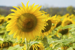 One sunflowers stands above a field of sunflowers. Stock Photo