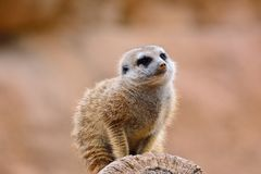 One suricates on dry tree Stock Photography