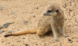 One of suricates. Royalty Free Stock Photos