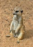 One of suricates. Royalty Free Stock Photo