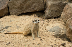 One of suricates. Royalty Free Stock Photo