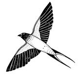 One swallow in flight. Etching ink, isolated on white Royalty Free Stock Image