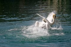 One swan attacks the other one. During a fierce battle that takes place in the waters of the Reuss River in Lucerne, Switzerland royalty free stock photography
