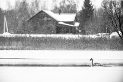 One Swan in cold lake Stock Photo