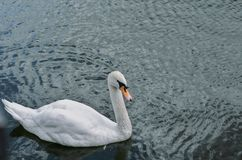 One swan is a top view. Royalty Free Stock Image