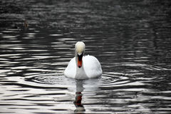 One swan in a lake winter time netherlands Royalty Free Stock Photos
