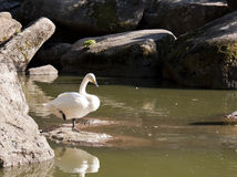 One swan near pond. In the park Stock Photo