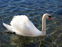 One swan profil Royalty Free Stock Photos