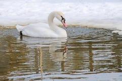 One swan swiming. On lake Stock Photography