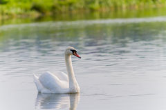 One swan swimming Royalty Free Stock Photos