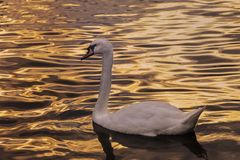 Swan at sunset Stock Photos