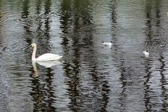 One, 1 Swan, two seagulls, bird on the water surface of the pond Royalty Free Stock Images