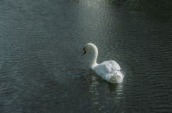 One swan. Stock Images