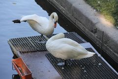 A couple of white swans stock image