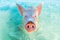 One swimming pig in the Bahamas. In Big Major Cay, the Exumas, you can get very close to the famous swimming pigs. Bahamas, December Stock Photography