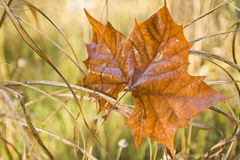 One Sycamore leaf Royalty Free Stock Photos
