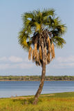 One tall palm tree. A lone palm tree next to a lake in Selous Stock Photography