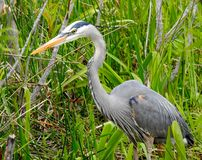 Male Great Blue Heron looking for a snack! Royalty Free Stock Photos