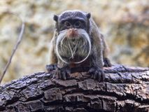 Tamarin Emperor, Saguinus imperator subgrisescens, has a strong beard. One Tamarin Emperor, Saguinus imperator subgrisescens, has a strong beard Stock Photo