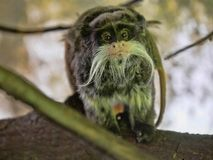 Tamarin Emperor, Saguinus imperator subgrisescens, has a strong beard. One Tamarin Emperor, Saguinus imperator subgrisescens, has a strong beard Royalty Free Stock Photo