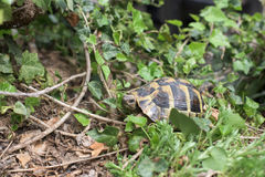 One Terrestrial tortoise Royalty Free Stock Photos