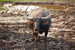 One Thai buffalo standing on slime Royalty Free Stock Photo