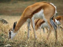 One Thomson gazelle in a savanna Royalty Free Stock Photo