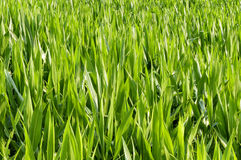 One thousand green leaves. Close-up of green leaves of a corn field in early summer sunshine Royalty Free Stock Photo