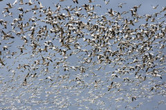 One Thousand Snow Geese Royalty Free Stock Photography