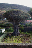 One Thousand year dragon tree 1 Royalty Free Stock Image