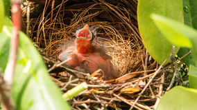 One of three baby birds in nest with mouth open Royalty Free Stock Images