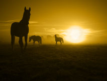 One of three horses in the sunrise_toned Stock Photography
