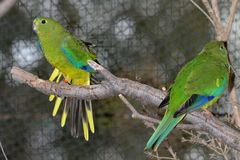 Orange-Bellied Parrot Neophema Chrysogaster Royalty Free Stock Images