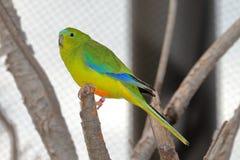 Orange-Bellied Parrot Neophema Chrysogaster Royalty Free Stock Photos