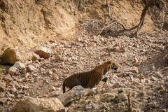A angry male tiger sprint and charged over gypsy at ranthambore national park. One of the thrilling moment of wildlife. I have seen this tiger got angry somehow stock photo