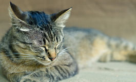 One tiger cute cat Royalty Free Stock Images