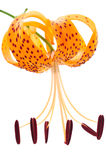 One tiger lily in vertical position Royalty Free Stock Photo
