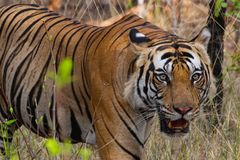 One Tiger. Forest animal big cat strip nature outdoor park safari wildlife power strong dangerous beautiful wallpaper india asia freedom background texture real royalty free stock photos