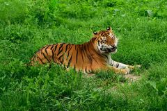 One tiger Panthera tigris resting in the green grass and showing fangs. One tiger stock photos