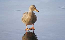 One tiny Mallard duck female standing alone on the icy surface of a frozen pond Royalty Free Stock Photography