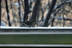 One titmouse bird (Paries) sit  on balcony with crumb Stock Photos