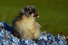 One to two days old chicken male, from the Hedemora breed in Sweden. On a bed of the flowers Myosotis scorpioides, water forget-me-not. The breed is a very stock photos