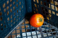 One  tomato. In plastic crate Stock Image