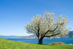 One tree. Single cherry tree in full bloom with mountain and lake background Stock Images
