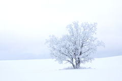 One tree. Single tree in the middle of a field in winter Royalty Free Stock Photos