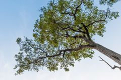 One tree with blue sky background. One green tree with blue sky background, nature texture background. forest and natural concept Stock Image