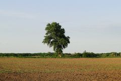 One tree at the edge of the field. A tree near the edge of a field covered by corn stairs on a sunny day Stock Photography