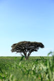 One tree in a field Royalty Free Stock Images