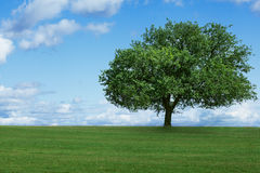 One tree in field stock photography