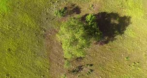 One tree in the field. Shooting from the top. Motion of the camera clockwise. One tree in the field. Shooting from the top. Motion of the camera clockwise stock footage